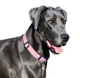 a Pure bred blue great dane against a white background poster