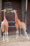 Reticulated Giraffes eating poster