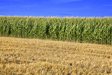 france; 85; marais poitevin : champ de maïs