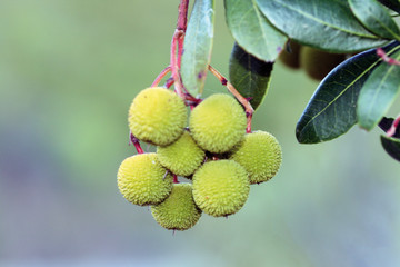 Madroños verdes (arbutus uned0)