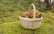 Basket with fresh funnel chanterelles