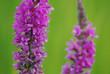 Violette Wiesenblumen nach einem Regenschauer