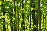 Fototapeta zielony - wiosna - Las