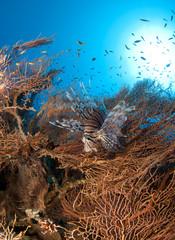 Lionfish in pristine gorgonian underwater forest