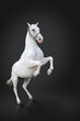 White horse rearing isolated on black