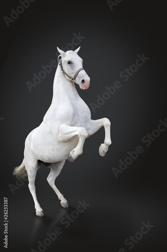 White horse rearing isolated on black