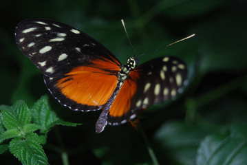 Mariposa tropical