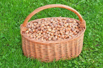 Nuts in basket. Hazelnuts in wicker hamper on green grass.