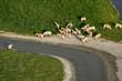 Troupeau de vaches dans le bocage vendéen (85)