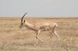 Gazelle, Serengeti, Tansania