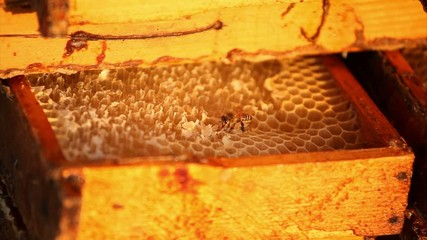 Honeybees buzz across and build a honeycomb