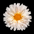 White Dahlia Flower with Yellow Center Isolated