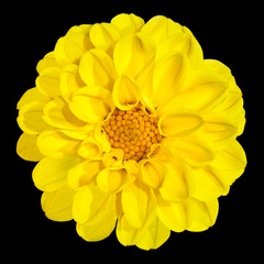 Yellow Dahlia Flower Isolated on Black Background