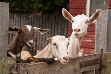 Three goats lean over an old fence on a farm