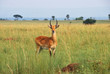 Antelope reedbuck