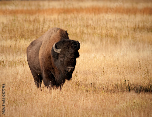 Fotobehang Buffel Bison