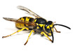 Live wasp isolated on white background - 26278735