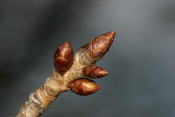 Kastanienknospe (Aesculus hippocastanum)