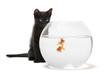 Black kitten looking at Goldfish, Carassius Auratus, swimming