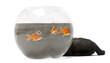 Black kitten looking up at Goldfish, Carassius Auratus, swimming