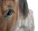 Close-up of a draft horse, Belgian Heavy Horse, Brabancon