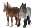 Belgian horse, Belgian Heavy Horse, Brabancon, draft horse