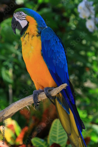 Blue and yellow tropical parrot in the jungle, Caraibes
