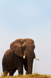 Majestic African Elephant