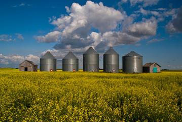 A row of steel grain bins in a field of yellow canola flowers
