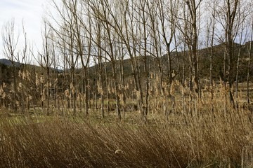 Autumn poplar trees and spikes on early winter fall