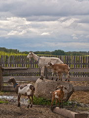 A group of goats on a farm with two goats standing on a rock
