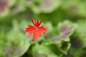 Geranium red flower with green leaves