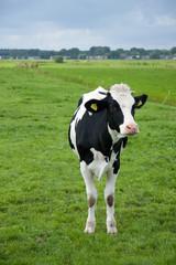 A black and white cow in a Dutch grassland