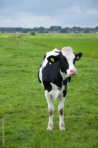 A black and white cow in a Dutch grassland