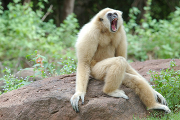 angry gibbon