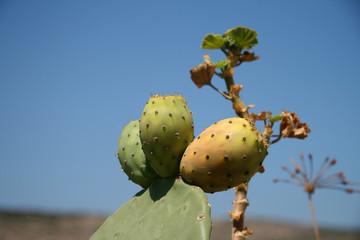Kaktusfeige Feigenkaktus