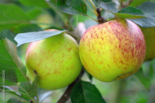 Ripe green English apples, with a red blush, growing on a tree