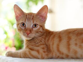 Katze, Europäisch Kurzhaar
