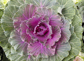 Decorative Purple Kale or cabbage
