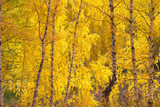 autumn yellow birches forest