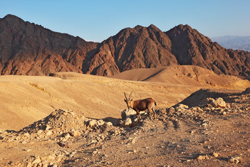 Wild goat in  mountains of Eilat, coast of Red sea