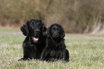 maman flat coated retriever et son chiot