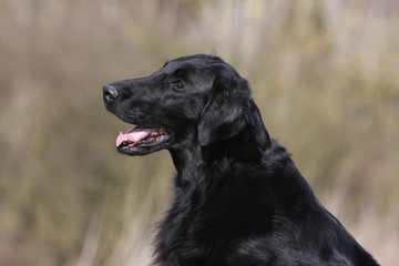 douceur du flat coated retriever