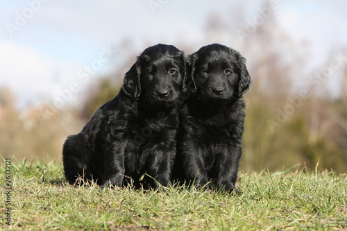 deux chiots flat coated retriever ensemble