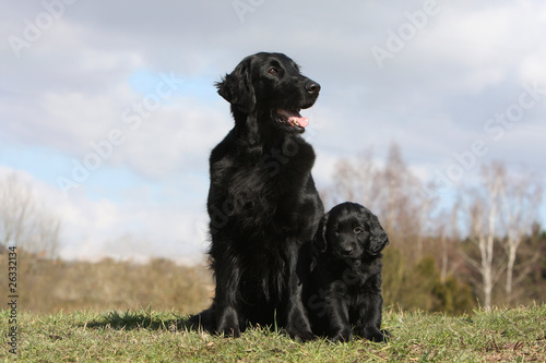 bébé flat coated retriever et sa maman