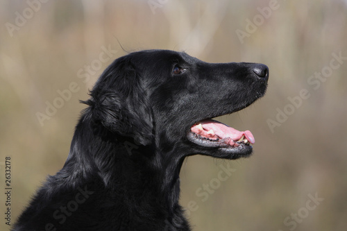 portrait de flat coated retriever