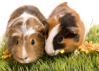 deux cobayes sur une petite pelouse