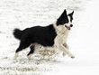 Border Collie en action