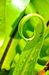 Spiral of Bird's Nest Fern Leaf with drop water