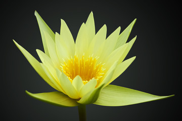 Yellow water lily isolated on black background